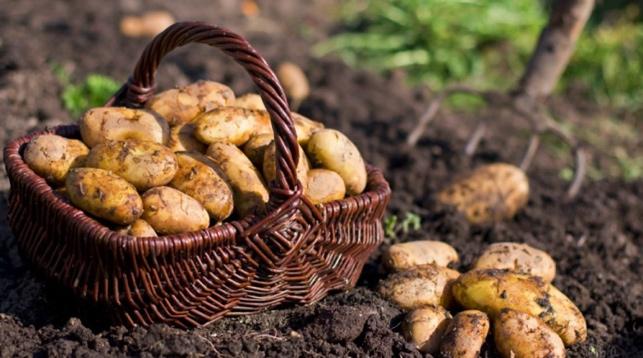 В Беларуси ожидается урожай картофеля в 5,7 миллионов тонн
