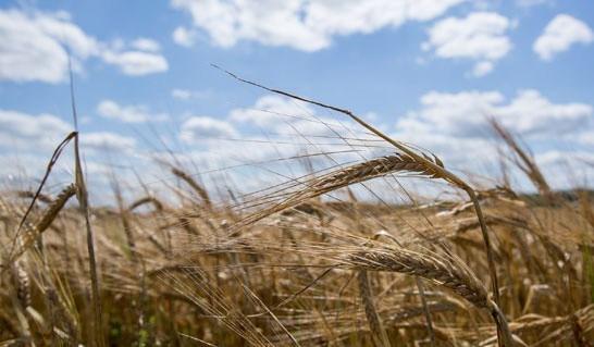 Минсельхозпрод установил закупочные цены на продукцию растениеводства для госнужд на 2018 год