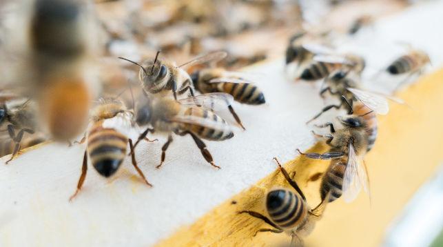 20 мая – Всемирный день пчел, который впервые отмечается в этом году