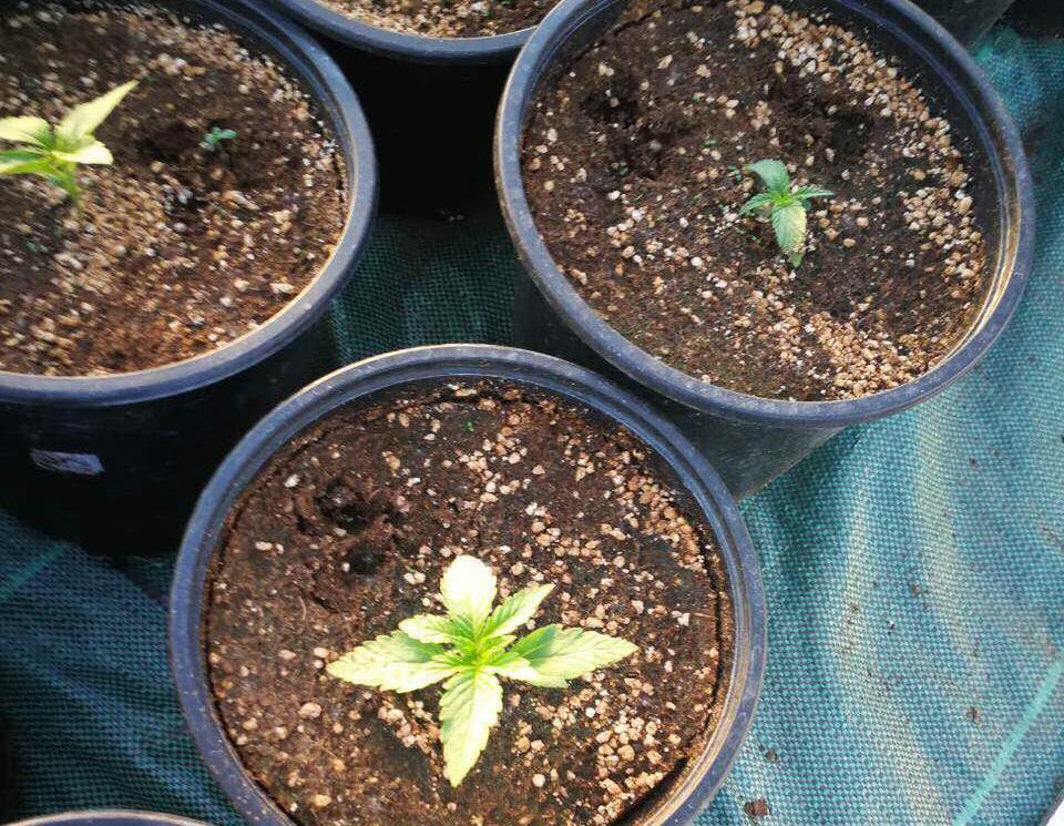 Минчанин нелегально выращивал в Гродненской области коноплю