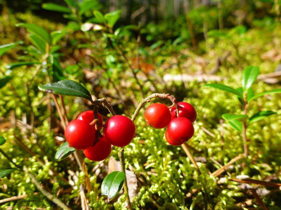 За брусникой – с 20 августа, за клюквой – с 6 сентября: установлены сроки сбора ягод