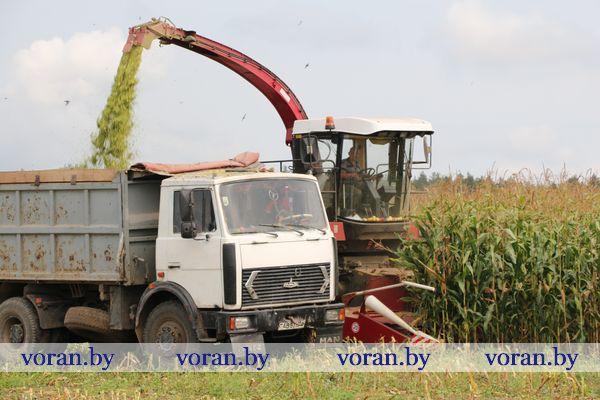 Сельхозпредприятия  Вороновского  района пополняют запасы кормов за счет кукурузного силоса
