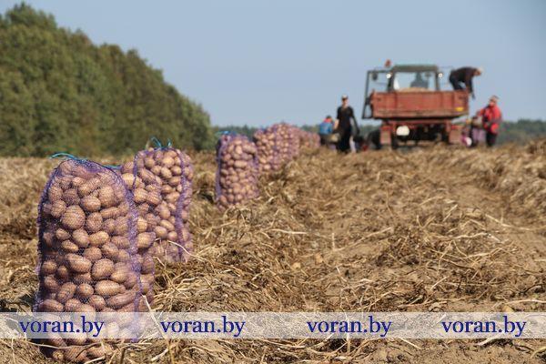 На Вороновщине активно ведется копка картофеля
