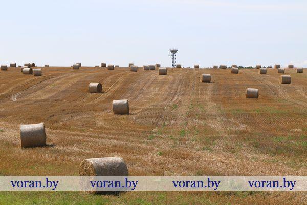 На утро 6 августа в Вороновском районе оставалось убрать 5% площадей. Намолочено более 63 тысяч тонн зерна — это почти на 4 тысячи тонн больше прошлогоднего (без кукурузы, гречихи и проса)
