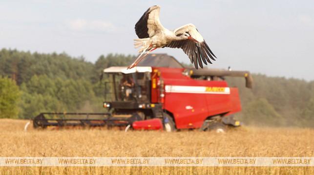 Зерновые убраны в Беларуси почти с 70% площадей