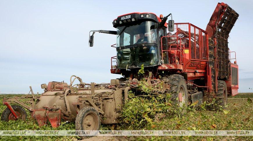 Сахарная свекла в Беларуси убрана на трети площадей