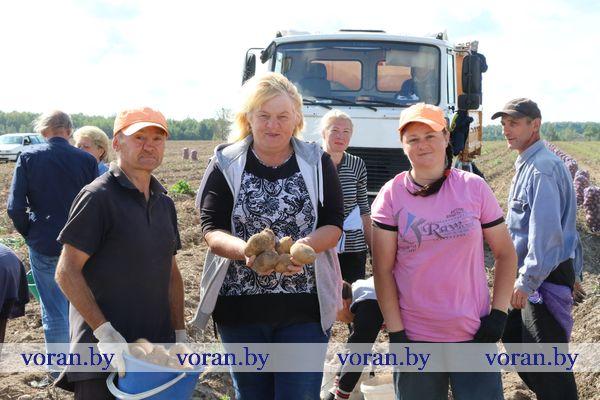 В КСУП э/б «Октябрь» Вороновского района начали массовую уборку картофеля