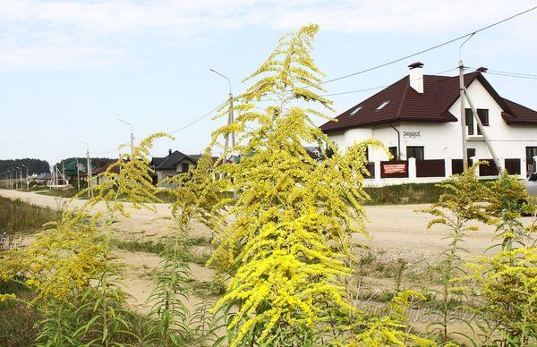 Беларуси угрожает стремительное распространение золотарника канадского