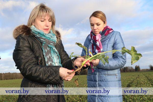 В Вороновском районе  поля зеленеют вопреки календарю