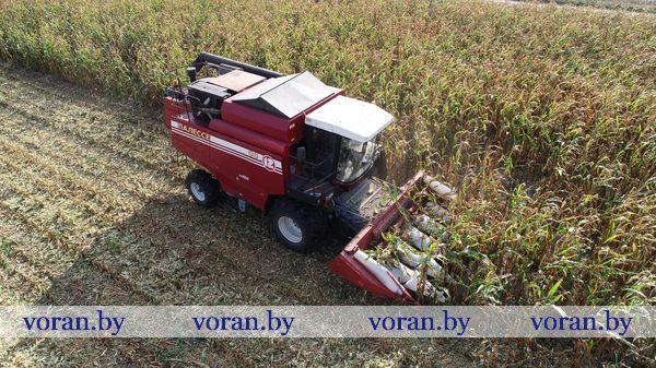 На уборочном  конвейере вороновских аграриев —  кукурузное зерно