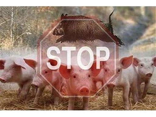 Африканская чума свиней: как с ней бороться?