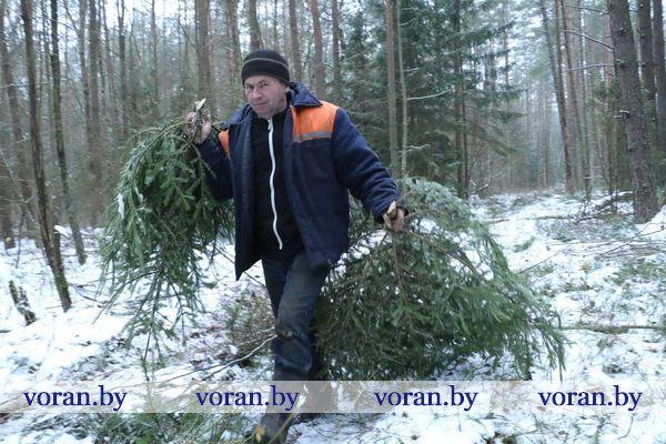 Иголочка к иголочке. А аромат… На Вороновщине приступили к заготовке новогодних иглиц. Хвойные деревца уже поступили в продажу